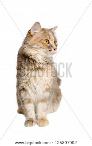 Calico cat sitting and looking away on a white background.