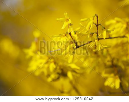 Detail of yellow forsythia blossom. Shallow depth of field