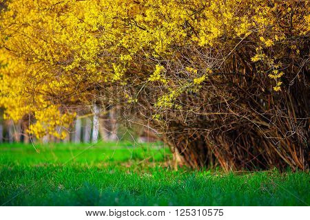 Yellow Forsythia bush and green grassland in spring season. Yellow flowers of forsythia