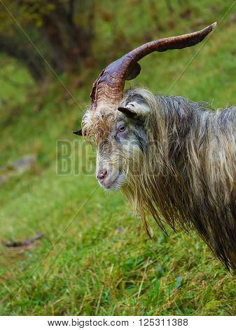 Herd of goat on a mountain pasture. Close up portrait
