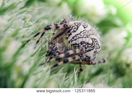 Detail on a Spider on Green Flower (Aculepeira ceropegia - Oak Spider)