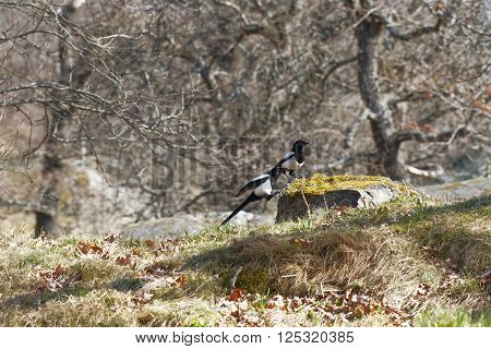 Two magpie (latin Pica pica) jumping up on a rock trees in the background