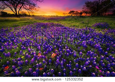 Dawn breaks over a field of bluebonnets and Indian paintbrushes near Fredericksburg TX