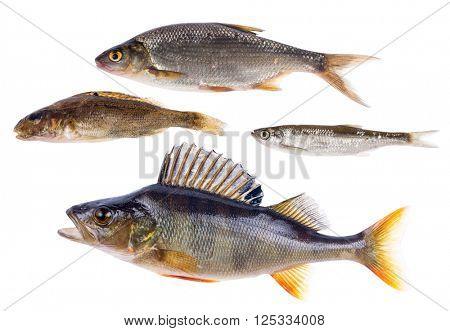 set of four freshwater fishes isolated on white background