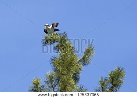 Osprey perched on top of tree. A beautiful osprey is perched at the top of a pine tree in Fernan Idaho.