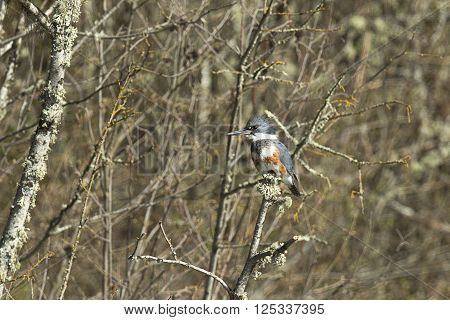 A pretty kingfisher is perched on a branch in north Idaho.