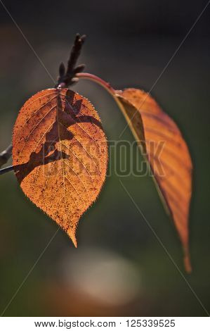 Orange leaves in the sunlight, nature setting