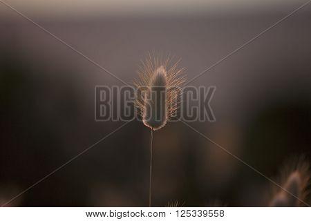 Grass Seed Pod in nature, beach scene