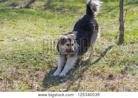 Positive stray dog stretching itself after long winter inactivity
