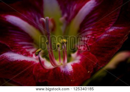 Gippeastrum -a perennial bulbous plant with beautiful flowers. ** Note: Visible grain at 100%, best at smaller sizes