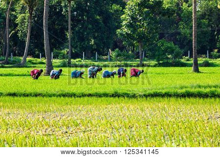 TAMIL NADU, INDIA - SEPTEMBER 12, 2009: Unidentified women woking in grice rice field. Agriculture is the 3rd econimical activity in the state comprising 21 per cent