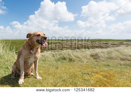 Cross breed dog sitting in landscape at Dutch wadden island Terschelling