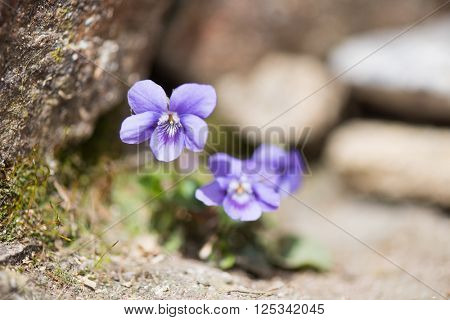 wood violet plant outdoor in sunshine