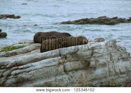 Fur seal resting on rock in Kaikoura, New Zealand
