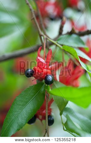 Flower and fruit of the mickey mouse tree, ochnaceae
