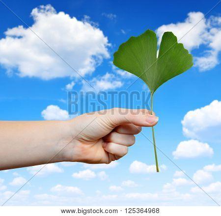 Hand holding ginkgo biloba leaf on the background blue sky.