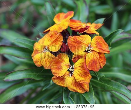 The brightly colored spring flowers of Erysinum cheiri (Cheiranthus) also known as the Wallflower.