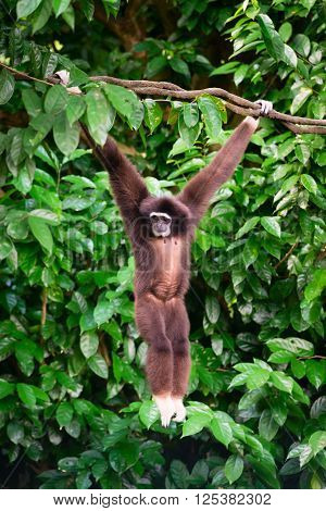 One Gibbon In The Forest Hanging From A Tree In The Jungle