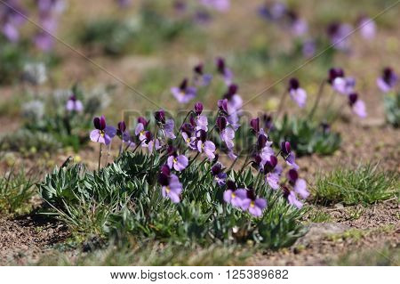 Wild Sagebrush Violets blooming in Eastern Washington