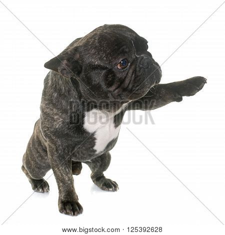 brown french bulldog giving paw in front of white background
