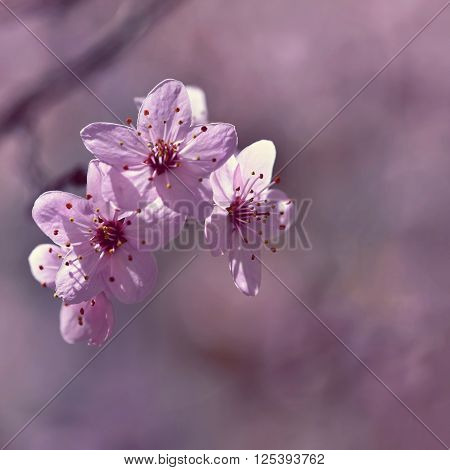 Beautiful Flowering Japanese Cherry Sakura. Season Background. Outdoor Natural Blurred Background Wi