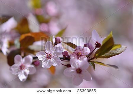 Blossom Tree. Nature Background.sunny Day. Spring Flowers. Beautiful Orchard. Abstract Blurred Backg