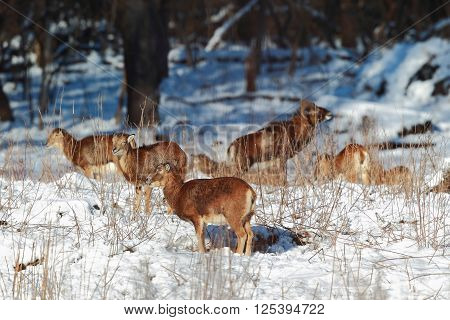 Mouflon are A lot of snow at the forest edge poster