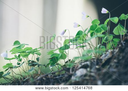 Beauty forest of white flowers oxalis acetosella