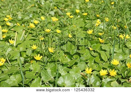 Flowering Plants Of Lesser Celandine