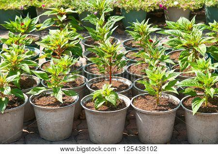 Seedlings Cockcomb ( Celosia argentea L ) in pot.