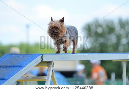 Yorkshire Terrier (Yorkie) Walking on a Dog Walk at an Agility Trial