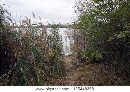 Common reeds (Phragmites australis) grow along the shore of Lake Renwick in the Lake Renwick Heron Rookery Nature Preserve, in Plainfield, Illinois,