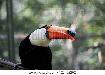 Toucan looking to the right with trees behind