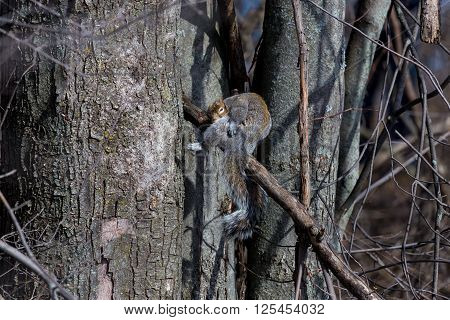 The grey squirrel is a very familiar animal in the United Kingdom, despite not being native. It was introduced from North America during the late 19th Century and since then has displaced the native red squirrel across most of England and Wales
