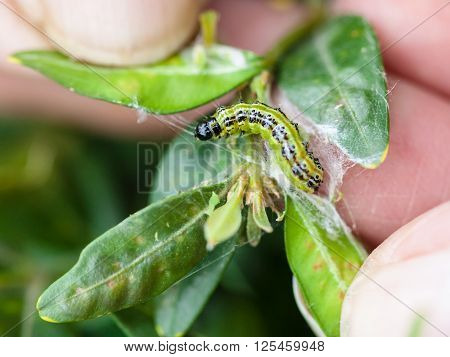 larva of insect pest (Cydalima perspectalis or the box tree moth) in boxwood leaves in garden poster