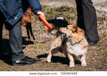 Funny Welsh Corgi Dog Play With Frisbee Outdoor. The Welsh Corgi Is A Small Type Of Herding Dog That Originated In Wales.