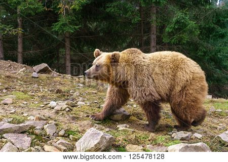 Brown bear in the wild pine forest.