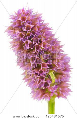 Agastache (anise hyssop) flower head without flowers isolated on white background