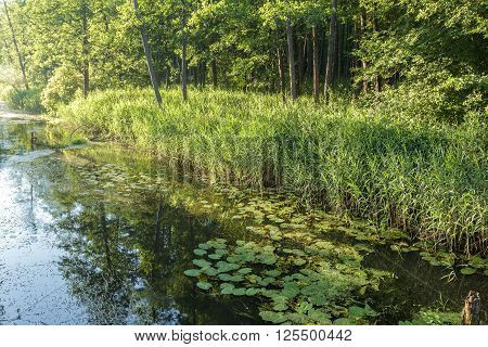 Summer landscape of wood calm river with yellow water-lilies and green sedge thickets