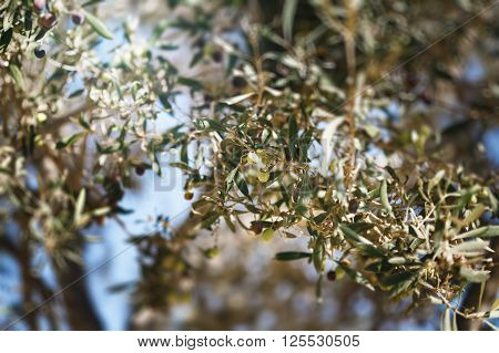 Olive Tree Branch With Fruits