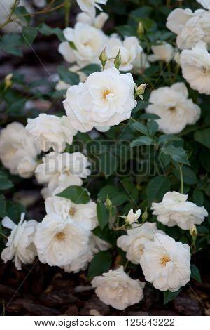 bush of white roses romantic place in garden