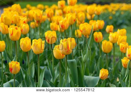 Field of yellow tulips in a green grass