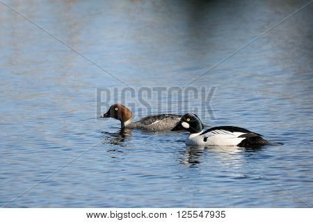 Couple of Common Goldeneyes (Bucephala clangula) at the river in early spring. National park Plesheevo Lake Yaroslavl region Russia