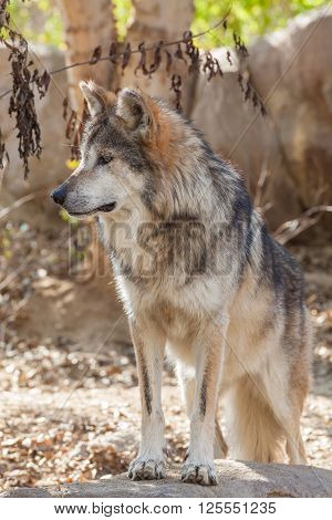 a beautiful mexican gray wolf in some rocks