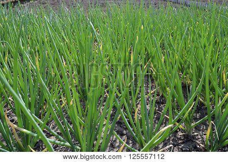 vernal green onion crop planted on the farm plantation