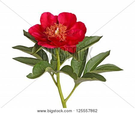 One single flower stem and leaves of bright red peony (Paeonia lactiflora) cultivar Burma Ruby isolated against a white background