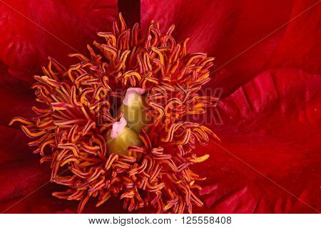 Closeup of stamens stigmas and anthers of bright red peony (Paeonia lactiflora) cultivar Burma Ruby