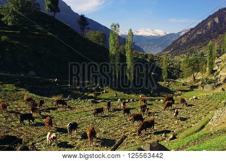 Kalaam, KPK, Pakistan - Oct 14 2015 - Beautiful view of a cow farm of mataltan village in swat valley Pakistan