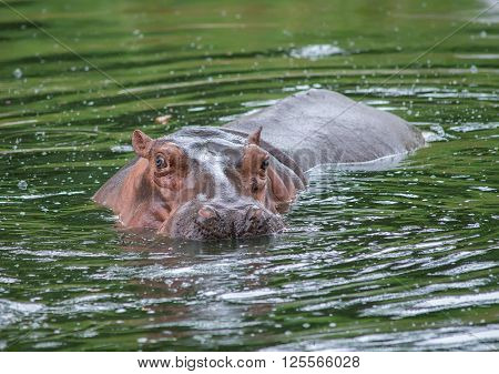 Sparring Hippo
