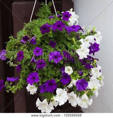 White and purple petunia flowers in hanging pot. Growing hanging petunias close up
